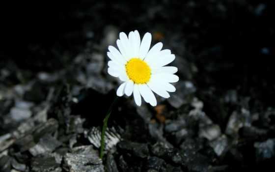 ромашки, цветы, desktop Фон № 56684 разрешение 3888x2592