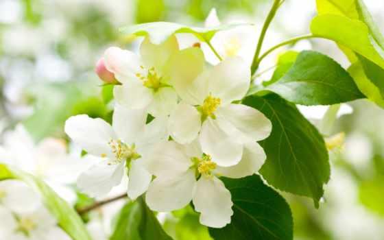цветы, белые, лепестки