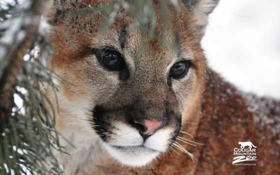 puma, cougar, гора, lion, морда, desktop,