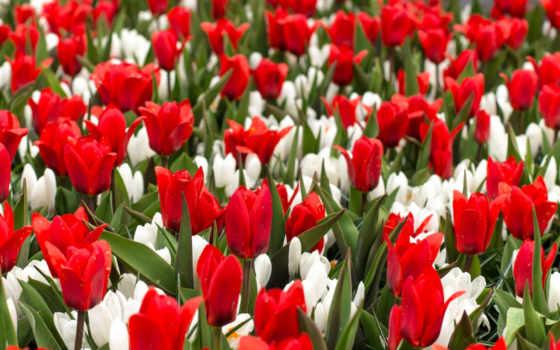 цветы, flowers, cvety, роза, birthday, red, крокусы, happy, desktop,