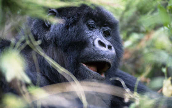 обезьяна, горилла, глаза, eyes,