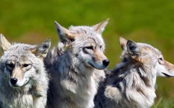 волк, animal, хороший, narrow, красивый, волков, собака, she, биг, друг