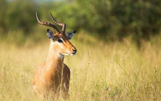 трава, antelope, браун, gazelle, зелёный, поле, растение, лань, animal