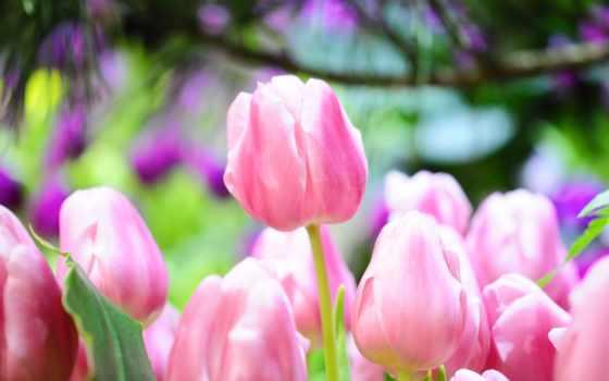 тюльпаны, цветы, весна, ярко,