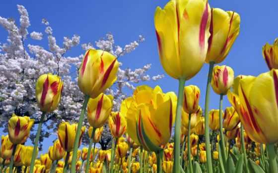 тюльпаны, цветы, желтые