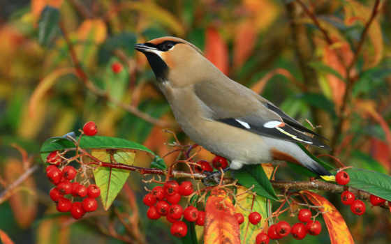 птица, ягоды, branch, свиристель,