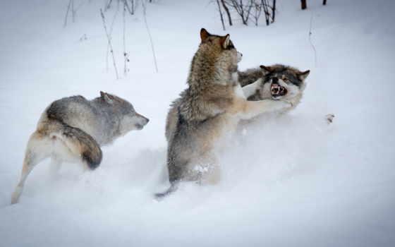 волки, winter, снег
