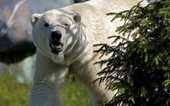 медведь, white, животные