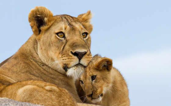 львица, львы, львенок, материнство, кошки,