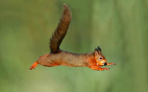 прыжок, белки, мокрая, полет, zhivotnye, acorn,