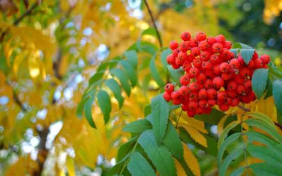 осень, рябина, листва, желтые, ягода, дерево,