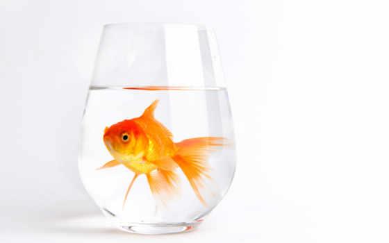 fish, золотая, аквариуме, плавает, рыбки, воду, бокале, осянина, даша, pet,
