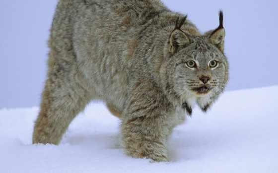 кошки, большие, рыси, дикие, биг, cats, вконтакте, подборка, канады, леопард, снег,
