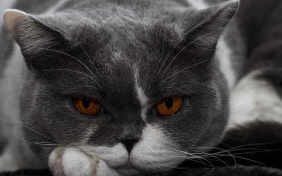 кошки, британские, короткошерстные