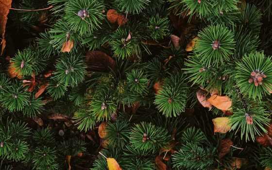 игла, fir, дерево, preview, растение, зелёный, музыка, trap