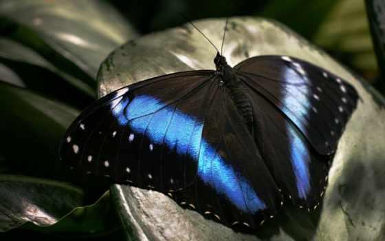 природа, черный, синий, бабочка, красота, разделе, узор, усики,