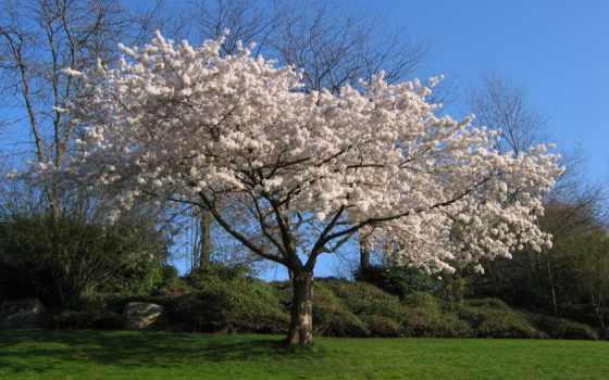 cherry, дерево, Сакура
