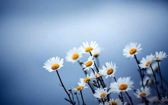 цветы, ромашки, красивые