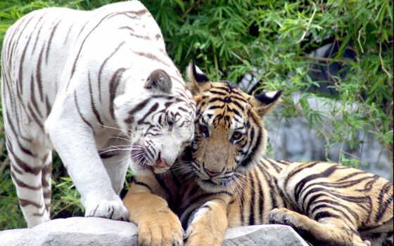тигры, кошки, pair, тигр, white,