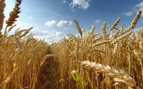 пшеница, казахстанская, китайской, производственный, пойдет, aic, пшеницы, atameken, году, одежды, высокую,