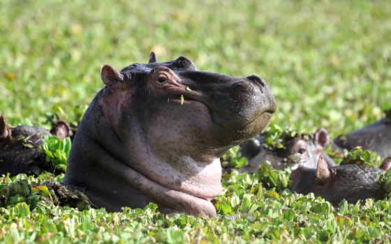 бегемоты, behemoth, гиппопотамы, zhivotnye, hippopotamuses, free, zoom, оригинальные, desktop,