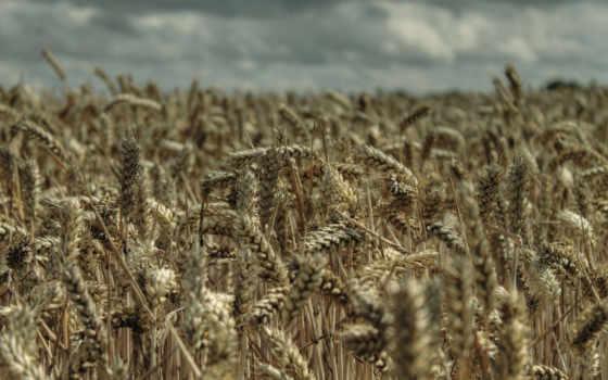пшеница, качество, high, desktop, tokkoro,