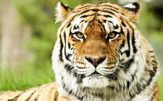 hành, con, тигр