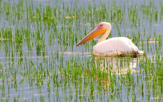 pelican, птица, картинка, zhivotnye, white, клюв, пруд,