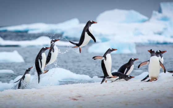 пингвин, winter, water, прыжок, animal, птица, лед