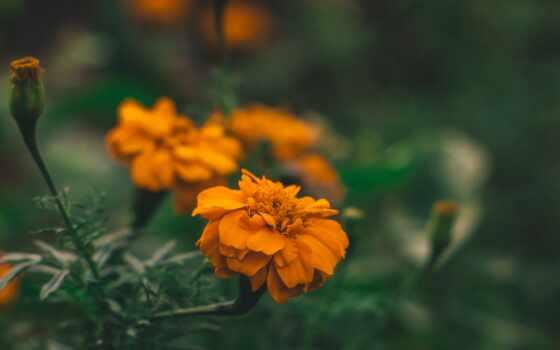 цветы, yellow, заставка, оранжевый, растение, клумба, high, весна, поле, permission, нота