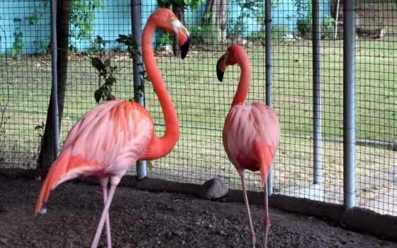 фламинго, quot