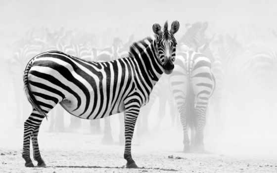 зебры, прикольные, zebra, то, животные, рисунок, мультфильмы,