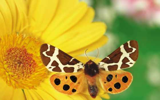бабочка, цветке, бабочки, cvety,