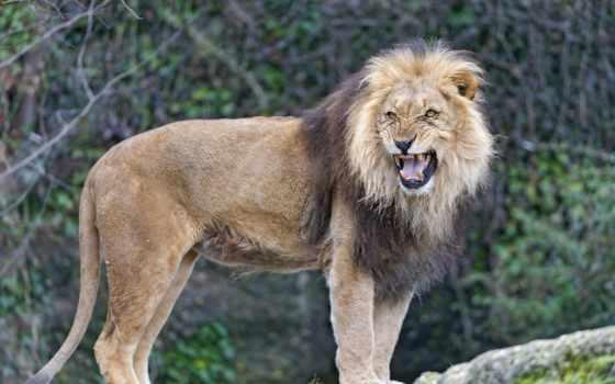 девушка, lion, looking, львы, мужской, стоя, angry, everything, наших,