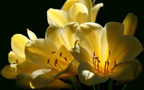 black, color, cvety, yellow, изображение, категория, white, kliviya