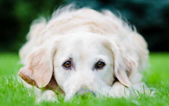 коллекция, retriever, собака, user, яndex, see, смотреть