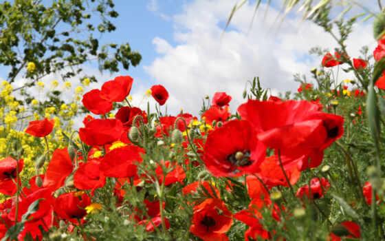 маки, polne, kwiaty, cvety