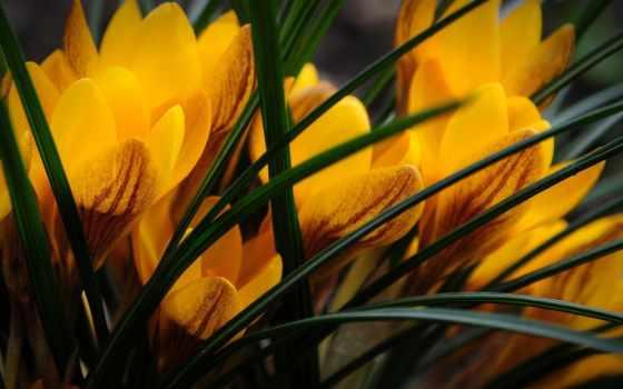 крокусы, слова, греческого, происходит, kroke, нить, name, задолго, растение, нашей,