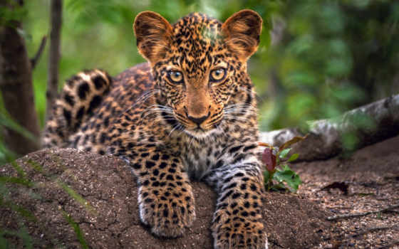 леопард, войдите, найти, зарегистрируйте, kazakhstan, красивые, дотянуться,