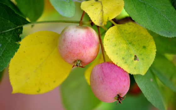 природа, яблоки, виноград