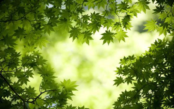 листья, лес, maple, зелёный, природа, leaf,