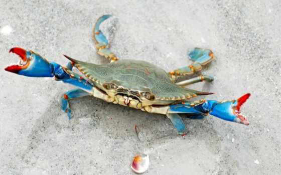 crab, blue, крабы, crabs, фотографий, дешевые, live, товар, голубые,