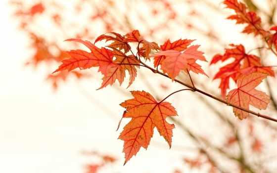 осенние, листва, branch, красные, maple,