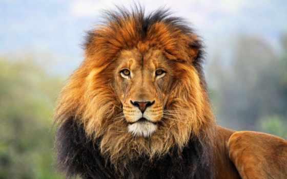 lion, животные, детей