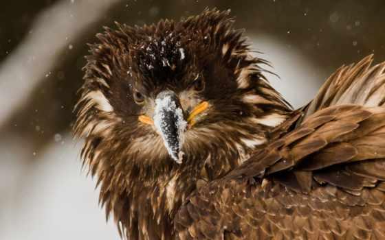 орлан, птица, взъерошенный