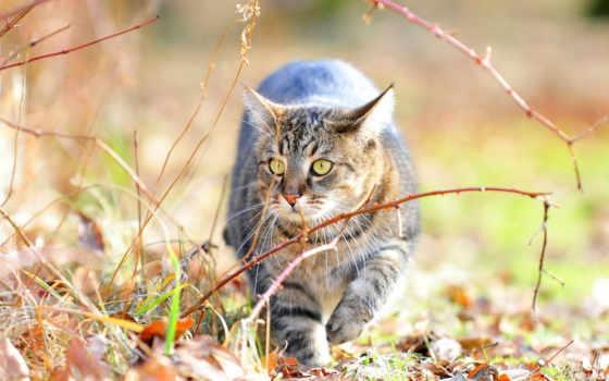 zhivotnye, кот, кошки, прогулке, дикие, разрешениях, разных, листва, тигр, тигры,