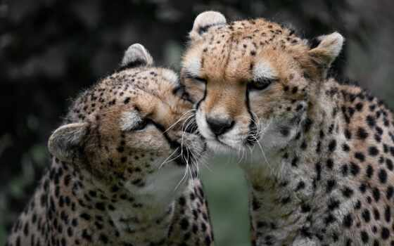 гепард, cover, free, animal, морда, tourist, аттракцион, канал, youtube