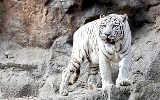грозный, тигры