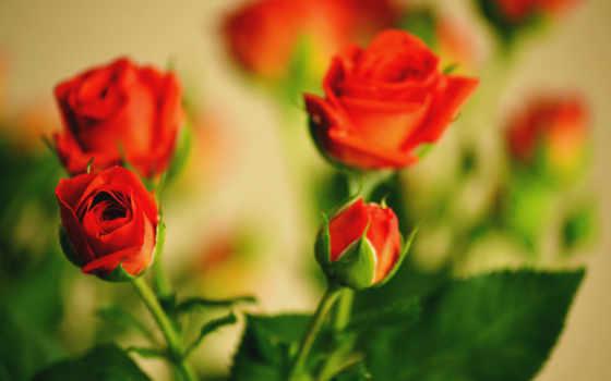 розы, cvety, букет