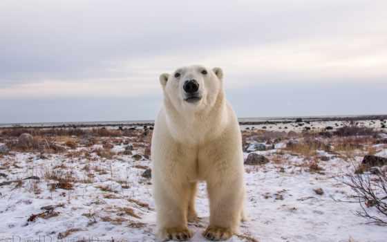медведь, white, polar,